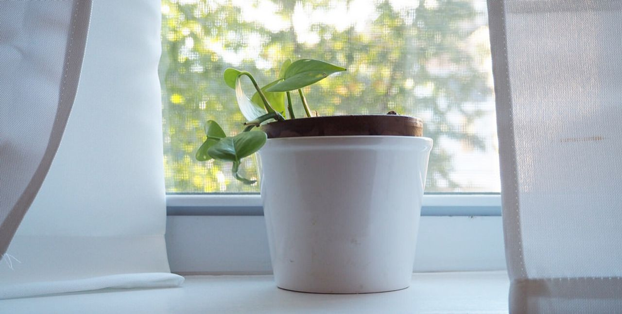 Picture of pothos plant in pot