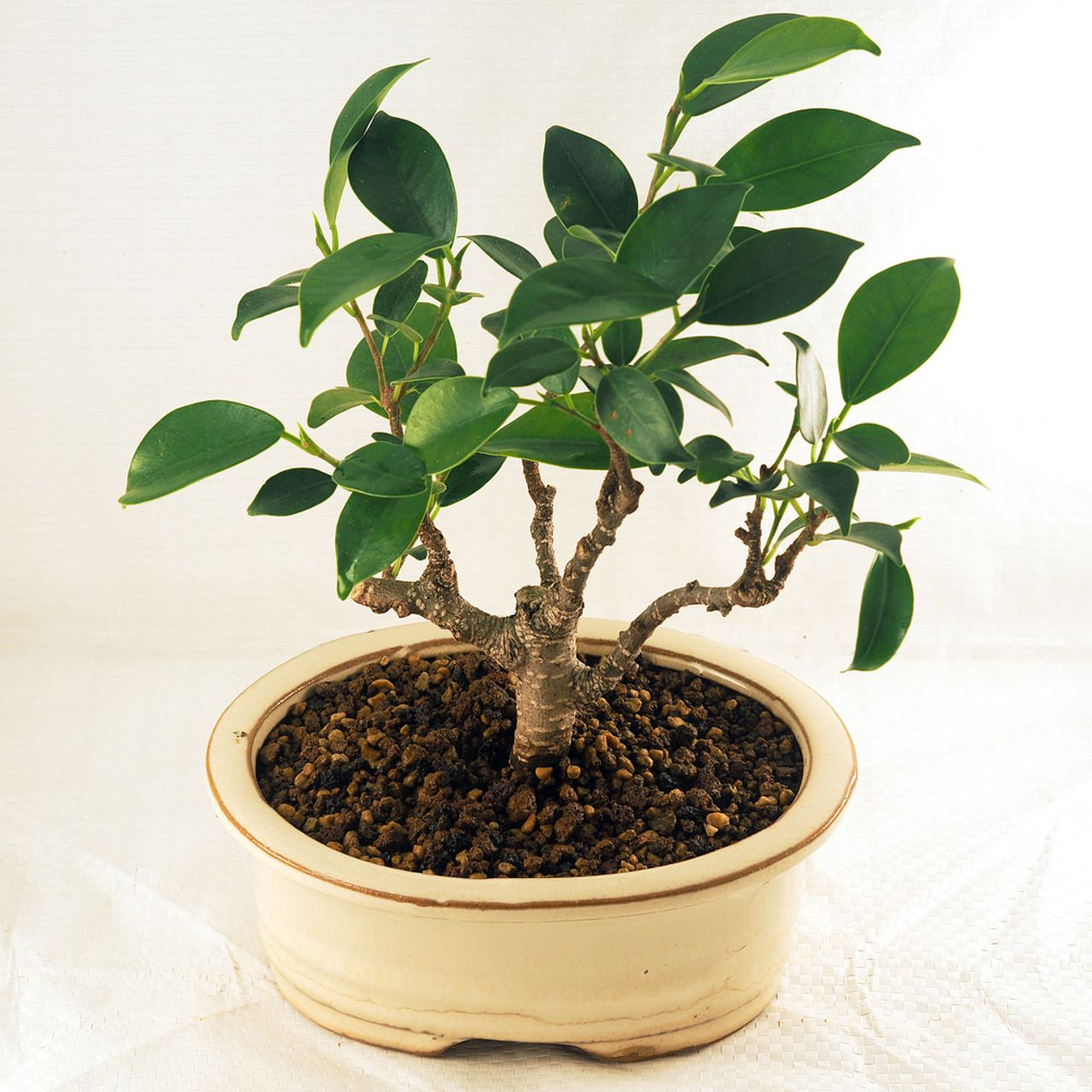 Ficus microcarpa bonsai top